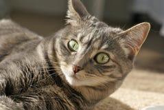 Popielaty tabby kot patrzeje kamerę Fotografia Stock