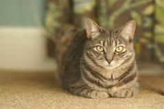 Popielaty tabby kot patrzeje kamerę Obraz Stock
