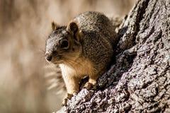 popielaty wiewiórczy drzewo zdjęcie stock