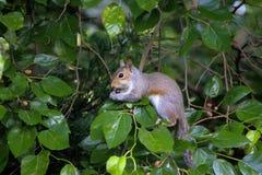 Popielaty wiewiórczy karmienie na jagodach Zdjęcia Royalty Free