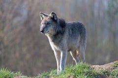 Popielaty wilk (Canis Lupis) Obrazy Stock