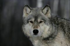 Popielaty wilk, Canis lupus fotografia royalty free