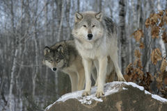 Popielaty wilk, Canis lupus Zdjęcia Royalty Free
