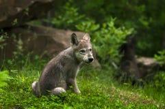 Popielaty wilk & x28; Canis lupus& x29; Ciuć spojrzenia Z powrotem Fotografia Stock
