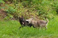 Popielaty wilk Szczeni się przy sztuką (Canis lupus) Zdjęcie Royalty Free