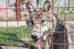 popielaty wilk z żółtymi oczami Zdjęcia Royalty Free
