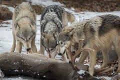 Popielatych wilków Canis lupus ciągnienia mięso Od ogonu rogacza obraz royalty free