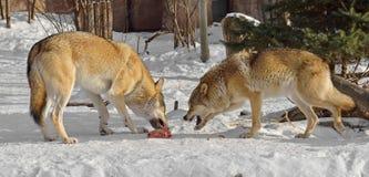 Popielatych wilków Canis lupus Walka dla jedzenia zdjęcia stock