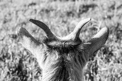 Popiera głowa kózka na Islandzkim gospodarstwie rolnym Obrazy Royalty Free
