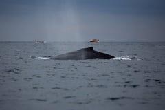 Popiera humpback wieloryb i turystyczna łódź w Samana, Dominikański ryps Fotografia Stock