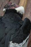 Popiera kogoś strzał andyjski kondor na fiszorku Obrazy Royalty Free