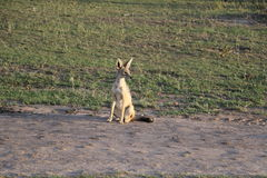 Popiera kogoś pasiastego szakala w dzikim maasai Mara Obrazy Royalty Free