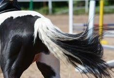 Popiera Piebald sporty końscy Obrazy Stock