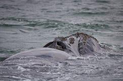 Popiera Południowy Prawego wieloryba dopłynięcie blisko Hermanus, Zachodni przylądek afryce kanonkop słynnych góry do południoweg obrazy stock
