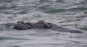 Popiera Południowy Prawego wieloryba dopłynięcie blisko Hermanus, Zachodni przylądek afryce kanonkop słynnych góry do południoweg zdjęcie stock
