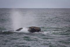 Popiera Południowy Prawego wieloryba dopłynięcie blisko Hermanus, Zachodni przylądek afryce kanonkop słynnych góry do południoweg obrazy royalty free