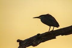 Popierająca czapla w Kruger parku narodowym, Południowa Afryka Fotografia Royalty Free
