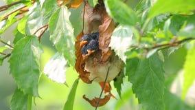Popierający flowerpecker dicaeum cruentatum trzy kurczątko w gniazdeczku zbiory