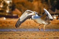 Popierający pelikana lub Pelecanus rufescens są ziemiami na plaży w dennej lagunie w Afryka, Senegal Ja jest przyrody fotografią zdjęcia royalty free
