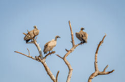 Popierający sępy w drzewie Zdjęcie Stock