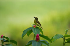 Popierający sunbird (Cinnyris jugularis) fotografia royalty free