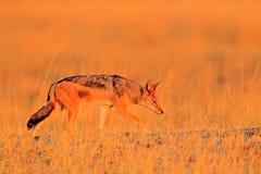 popierający szakal, Canis mesomelas mesomelas, portret zwierzę z długimi ucho, Tanzania, Południowa Afryka Piękna przyroda scen Obraz Royalty Free