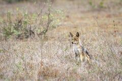 Popierający szakal w Kruger parku narodowym, Południowa Afryka Zdjęcie Stock