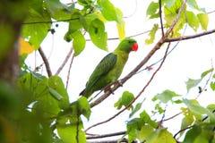 Popierająca papuga Zdjęcia Royalty Free