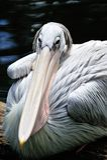 Popierający pelikan Zdjęcia Royalty Free