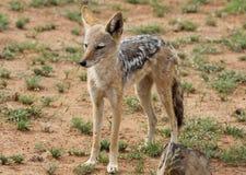 Popierający szakal, Canis mesomelas zdjęcie royalty free