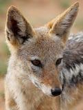 Popierający szakal, Canis mesomelas zdjęcia stock