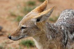 Popierający szakal, Canis mesomelas fotografia stock