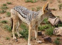 Popierający szakal, Canis mesomelas Zdjęcia Royalty Free