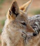 Popierający szakal, Canis mesomelas obraz royalty free