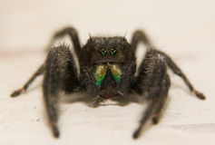 Popierający skokowy pająk, Fotografia Stock