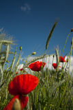 Popies with barley. Red poppies in barley fields against blue sky Royalty Free Stock Photo