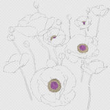 Popies sketch Royalty Free Stock Photos