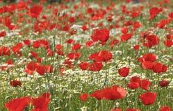 Popies vermelhos Imagem de Stock Royalty Free
