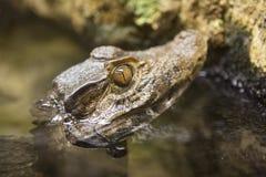 Poping principal do caimão fora da água foto de stock royalty free