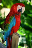 Popinjay bird. A beautiful colorful bird in tropical forest Royalty Free Stock Image