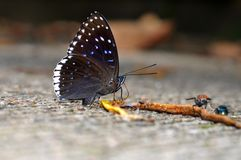 Popinjay butterfly. Of Thailand background Stock Image