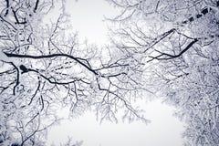 Poplątani drzewa w zimie obraz royalty free