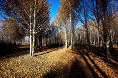 Poplar. Forest near daochen ,sichuan province of china Royalty Free Stock Image