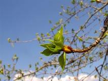 Poplar 2. Poplar tree leaves in spring Stock Photo