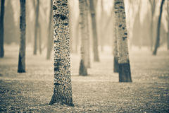 Poplar Royalty Free Stock Photos