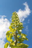 Poplar Stock Photo