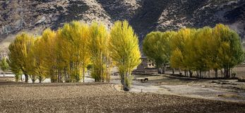Poplar. There are poplars at autumn in tibet altiplano stock photography