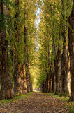Poplar alley Royalty Free Stock Images