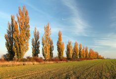 Poplar alley Royalty Free Stock Photography
