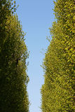 Poplar alley in spring Royalty Free Stock Image